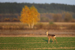 Roe deer at sunset in autumn. Roe deer in the field Royalty Free Stock Image