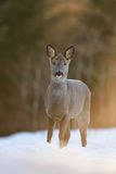 Roe deer at sunset Stock Photo