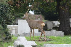 "Roe deer in a Sussex cemetery. Roe deer live quite happily in city life cemetery surroundings where grass is in abundance and disruption or ""worry"" is uncommon Stock Photography"