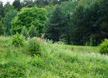Roe Deer. A roe deer in the Swedish forest royalty free stock image