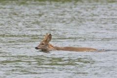 Roe Deer Swimming Fotografia Stock