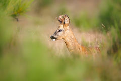 Roe deer in tall grasses Stock Photography
