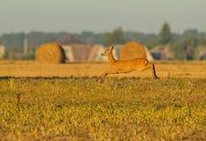 Roe Deer transportado por via aérea Fotografia de Stock Royalty Free