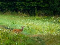 Roe deer with unique antlers. On beautiful and flowery meadow stock image