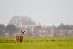 Roe deer in urban environment Stock Images