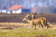 Roe deer in urban setting Stock Photos