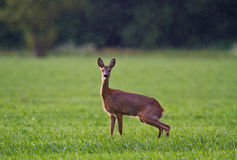 Roe deer urinating Stock Photo