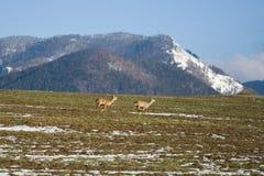 Roe Deer-vlucht stock afbeelding