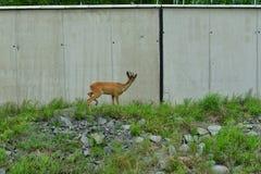 Roe deer with antlers walking on the rock hill. Roe deer walking near the people residence royalty free stock image