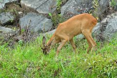 Roe deer with antlers walking on the rock hill. Roe deer walking near the people residence royalty free stock images
