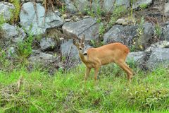Roe deer with antlers walking on the rock hill. Roe deer walking near the people residence royalty free stock photography
