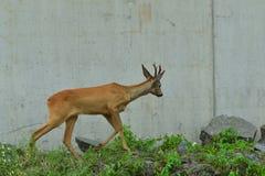 Roe deer with antlers walking on the rock hill. Roe deer walking near the people residence stock photos