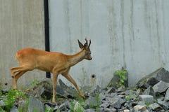 Roe deer walking on the rock hill. Roe deer walking near the people residence stock photography