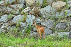 Roe deer walking on the rock hill. Roe deer walking near the people residence stock image