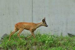 Roe deer walking on the rock hill. Roe deer walking near the people residence royalty free stock photos