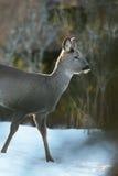 Roe deer walking. On snow Stock Image