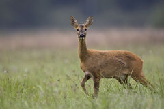 Roe deer walking in the wild. Deer walking in the wild, in the clearing royalty free stock photos