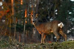 Roe deer in a warm morning light. In Sweden and looking into the cameran royalty free stock image