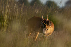 Roe-deer Royalty Free Stock Photos