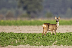 Roe-deer in the wild Stock Photos