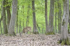 Roe deer in the wild. Royalty Free Stock Image