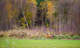 Roe deer, wild animals Royalty Free Stock Photography
