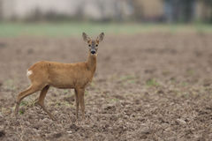 Roe-deer in the wild Royalty Free Stock Photo