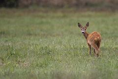Roe-deer in the wild. Stock Photography