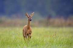 Roe-deer in the wild Royalty Free Stock Images