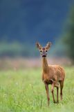 Roe-deer in the wild Stock Images