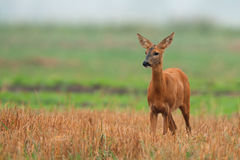 Roe-deer in the wild Stock Image