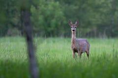 Roe-deer in the wild Stock Photos