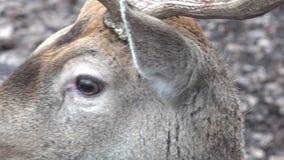 Roe Deer in the Wild. Closeup. 4K UltraHD, UHD stock video