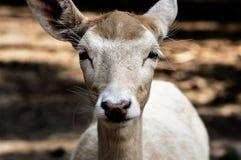 Roe Deer, Wild, Fallow Deer, Scheu Royalty Free Stock Image