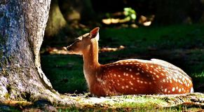 Roe Deer, Wild, Forest, Animal Stock Photo