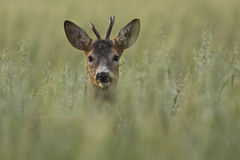 Roe deer in the wild Stock Photos