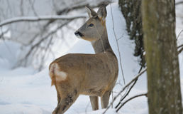 Roe deer in winter. Roe deer on the snow Royalty Free Stock Photos