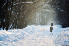 Roe deer in winter. Roe deer on the snow Royalty Free Stock Photo