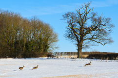 Roe Deer in winter Royalty Free Stock Photo