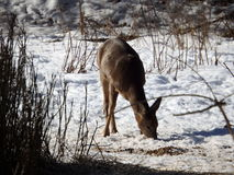 Roe deer in winter Stock Image