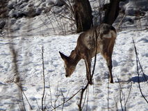 Roe deer in winter Stock Photos