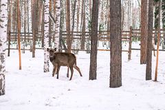 Roe deer in the winter in forest Stock Image