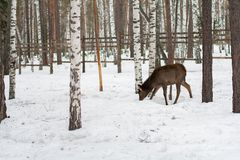 Roe deer in the winter in forest Stock Photos