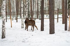 Roe deer in the winter in forest Royalty Free Stock Photography