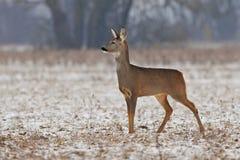 Roe deer in winter Royalty Free Stock Photos
