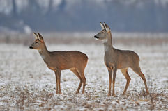Roe deer in winter Royalty Free Stock Photography