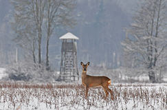 Roe deer in winter Royalty Free Stock Image