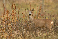 Roe Deer in Winter. The picture was taken in Hungary Royalty Free Stock Photos