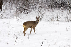 Roe deer at winter Stock Photo