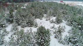 Roe deer in winter snowy forest. Roe deer in beautiful and snowy winter forest stock video